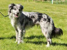Pyrenean Sheepdog Smooth Faced