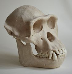 Museum Quality Male Chimpanzee Skull Replica cast a Real Skull in Resin-Gypsum Composite with Resin Teeth for added realism. i)High, 19 cm i) long, cm i) wide Please note - this cast is made to order so please allow a few days for the cast to be made up. Crane, Skull Reference, Photo Reference, Real Skull, Human Evolution, Skull Painting, Drawing Practice, Dope Art, Animal Skulls