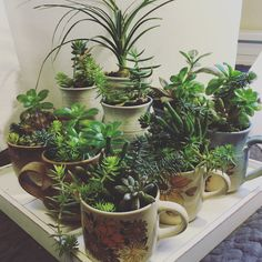 Cups of Succulents : WildnatureByJ4c - facebook