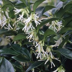 Himalayan sweet box (sarcococca hookeriana, var. humilis), a shrub with glossy green leaves that is often planted as a hedge. Its tiny, white flowers, tucked under the leaves, are the source of a wonderful Winter sweet aroma. Those planted at our front door also have dark berries in February/March.   Trims beautifully as a short hedge.  18-24 inches - Part shade to shade (off color in full sun). Prefers acid soil, otherwise leaves turn light green.