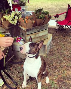 I stopped I smelt I conquered (the hearts of the lovely ladies at @theflowertrader)! Thanks for all the love #bullterrierlove #bullterrier #bullylove #bully #market #saturdaymorning #love #flowers #cute #handsomedog #bullterr