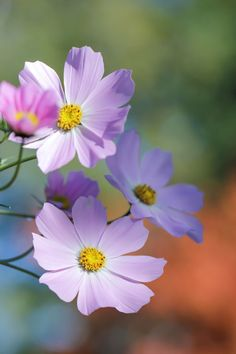 Anemone flowers by Eva Bjursten on Cosmos Flowers, Wild Flowers, Cosmos Tattoo, Anemone Flower, Plant Pictures, Dream Art, Colorful Wallpaper, Dahlia, Flower Power