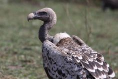 Rüppell's Vulture Gyps rueppellii - Google Search