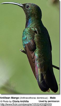 Antillean Mango (Anthracothorax dominicus) - also known as Dominican Mango or Puerto Rican Golden Hummingbird