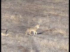 "Coyote Hunt ""Revenge on the Deer Killers"" Coyote Hunting, Pheasant Hunting, Archery Hunting, Saltwater Fishing, Kayak Fishing, Deer Hunting Blinds, Bowfishing, Turkey Hunting, Doberman Pinscher"