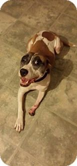 Foristell, MO - Pit Bull Terrier/Jack Russell Terrier Mix. Meet Journey, a dog for adoption. http://www.adoptapet.com/pet/13004080-foristell-missouri-pit-bull-terrier-mix