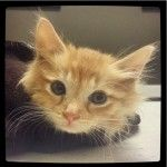 A little rescued kitten paralyzed at the shelter when his microchip was improperly inserted will get a risky surgery this week to try to help him regain normal