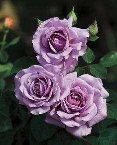 Rosa Floribunda (Love Song)