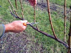 gifts and tools for gardening Fruit Plants, Fruit Garden, Fruit Trees, Trees To Plant, Vegetable Garden, Summer House Garden, Home And Garden, Grape Vine Pruning, Garden Projects