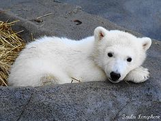 Polar Bear cub Hudson @ Brookfield Zoo in Chicago ~paulakoala flickr