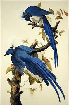 Columbia Jay by John James Audubon