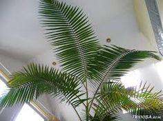 Image result for soorten palmen