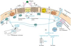 Regulation of mast cell degranuation        FceRI pathway is regulated by the inhibitory Fc receptor FcgRIIb      Intracellular Events Also Regulate Mast-Cell Degranulation