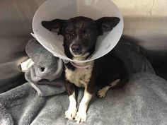 ROSIE - ID#A5050702\r\n\r\nMy name is Rosie and I am described as a spayed female, black and white Chihuahua - Smooth Coated and Miniature Pinscher\r\n\r\nThe shelter thinks I am about 7 years old.\r\n\r\nI have been at the shelter since Apr 16, 2017.\r\n\r\nFor more information about this animal, call:\r\nLos Angeles County Animal Control - Carson at (310) 523-9566\r\nAsk for information about animal ID number A5050702