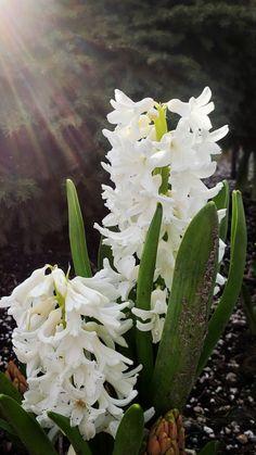 Dark Plum Flowers, Peach Flowers, All Flowers, White Flowers, White Hyacinth, Hyacinth Flowers, Purple Calla Lilies, Asiatic Lilies, Cheap Flowers
