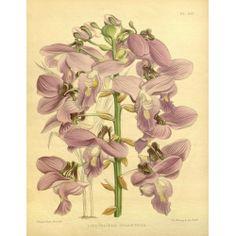 Lissochilus Giganteus Orchid