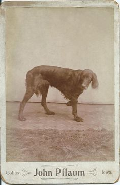 c.1870s cabinet card of Irish setter. On verso, written in pencil: Uncle Jake's hunting dog. Photo by John Pflaum, Colfax, Iowa. From bendale collection