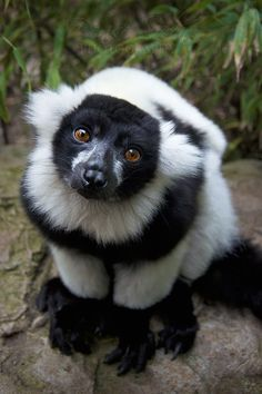 Black and white Lemur.beautiful.  These guys are my absolute favorite.  Look at that sweet face!