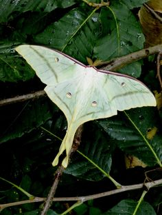 Actias ningpoana ningtaiwana male Lunar Moth, Plant Leaves, Plants, Plant, Planting, Planets