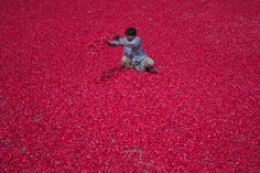 This is how I would like to spend my day; surrounded by rose petals.