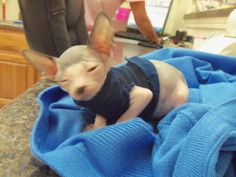 Smeagol is a hairless kitten and he says we woke him from his nap...