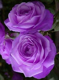 violet - https://zemaria.fr/