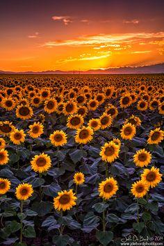 ~~Dusk • sunflower field sunset, just east of Denver, Colorado • by kkart~~