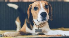 American Foxhound – Dog Breed Information Of The Hunting Companion - Petmoo Dog Id Tags, Pet Tags, Puppy Names, Dog Names, Best Dog Breeds, Best Dogs, Funny Animal Videos, Funny Animals, Pet Videos