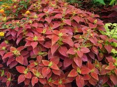 Coleus 'Alabama Sunset' <3  I love this stuff and the last frost killed all 5 of my plants. :(