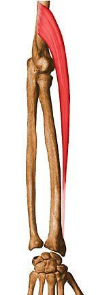 Musculation des avant-bras long supinateur