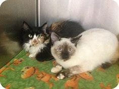 Healdsburg, CA - Siamese. Meet Maple (on the right) a Cat for Adoption.