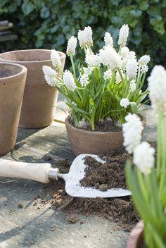 White Muscari in the garden Spring Garden, Outdoor Gardens, Container Gardening, Spring Bulbs, Garden Pots, Plants, Moon Garden, Planting Flowers, White Gardens