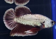 Halfmoon Plakat SUPERB! male LIVE betta fish - Underwater Rainbow auction Beta Fish, Halfmoon Betta, Some Pictures, Fish Tank, Fresh Water, Underwater, Funny Cats, Aquarium, Auction