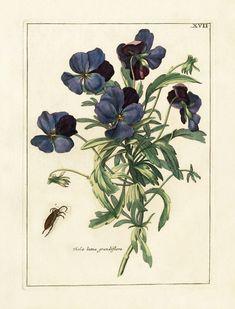 Nederlandsch Bloemwerk Botanical Prints 1794, Viola lutea grandiflora