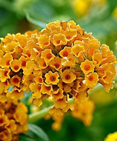 Summer Lilac Summer Lilac 'Sungold' (Buddleja X Weyeriana) is also known as butterfly bush, as the orange-yellow flowers attract lots of butterflies. It grows rapidly and can be pruned every year. Height supplied 15-20 cm.