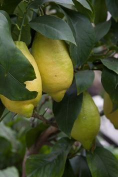 Citrusväxter och citroner är givna i en medelhavsträdgård. Det är svårt att låta bli att lockas av de härligt gula frukterna, vita doftande blommorna och de glansigt gröna bladen. Gardening, Lawn And Garden, Horticulture
