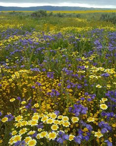 """Apr. 7, 2017 by dyl_e_fresh """"When california is having a superbloom, and you're 5hrs away, you go see the super bloom."""""""