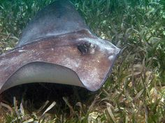 southern stingray - Google Search
