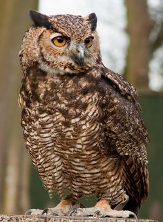 Magellan Horned Owl