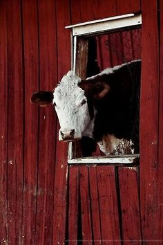 A Polled (horn hereditary characteristic  bred out of breed) Hereford (type of cattle breed), looks out of the window. I'm sure she's not suppose to be doing that. Cows can be stubborn!