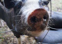 Piglet snout