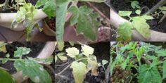 """Eu amo cultivar tomates.É uma das minhas plantas preferidas, mas são bem sensíveis e costumam apresentar várias doenças se você ainda não tem a """"manha"""" do cultivo, por isso eu …"""