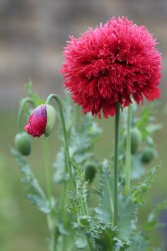 Large Deep Pink poppy.