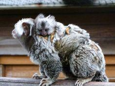 Naissance de deux ouistitis au parc zoologique Fort-Mardyck