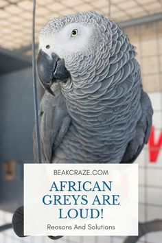 Are African Greys loud? However, that does not mean that you have to deal with constant screaming the whole day. Learn about the reasons for screaming and what you can do about it by reading this article! Parrot Facts, Parakeet Care, Cages For Sale, Dog Quotes Love, African Grey Parrot, Education Humor, Happy Reading, Bird Species, What You Can Do