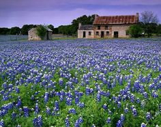 """""""The bluebonnet is to Texas what the shamrock is to Ireland, the cherry blossom to Japan, the lily to France, the rose to England and the tulip to Holland."""" -Jack Maguire"""