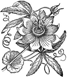 """Find out more details on """"flowers drawing"""". Look into our internet site. Engraving Illustration, Plant Illustration, Botanical Illustration, Passion Fruit Plant, Passion Fruit Flower, Flower Art Images, Folk Art Flowers, Flower Sleeve, Fruit Painting"""