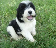 My name is Dixie and I live with my new Mom and Dad Mike and Pat. When I get bigger I am going to help mom more in the garden. Cutest Puppy Ever, Portuguese Water Dog, Live Animals, New Moms, Mom And Dad, Cute Puppies, Dads, Garden, Fathers