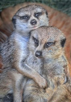 "Meerkat love | ""Here we go again ... what is it with you women and your cuddling?"""