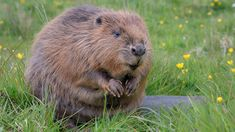 Plans to bring beavers back to Derbyshire Beaver Animal, Adoption Certificate, Shop Price, Cute Photography, Mammals